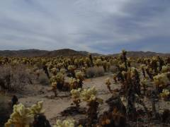 Cholla-Park im Joshua Tree Nationalpark