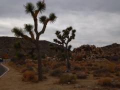 Ein Joshua Tree im Joshua Tree Nationalpark